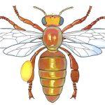 anatomie de l'abeille, planche d'école