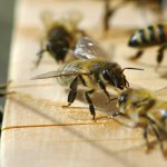la maison de l'abeille de Cassagnoles, au seuil de la ruche