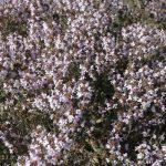 la maison de l'abeille de Cassagnoles, thym