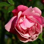 Photo Olivier AZEMA, rose
