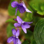 Photo Olivier AZEMA, violettes