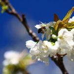 Photo Olivier AZEMA, cerisier