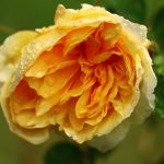 Photo Olivier AZEMA , rose