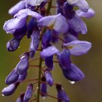 Photo Olivier AZEMA, glycine