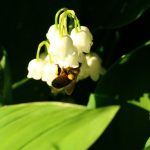 Photo Olivier AZEMA, muguet