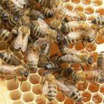 abeilles au Mexique, article de Novethic