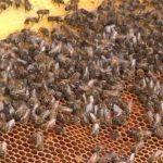 Midi Libre article baisse des récoltes de miel 2014