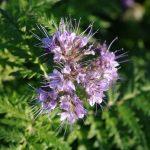 Fleur de facélie