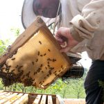 Guy Borios, la maison de l'abeille de Cassagnoles, travail ses ruchers