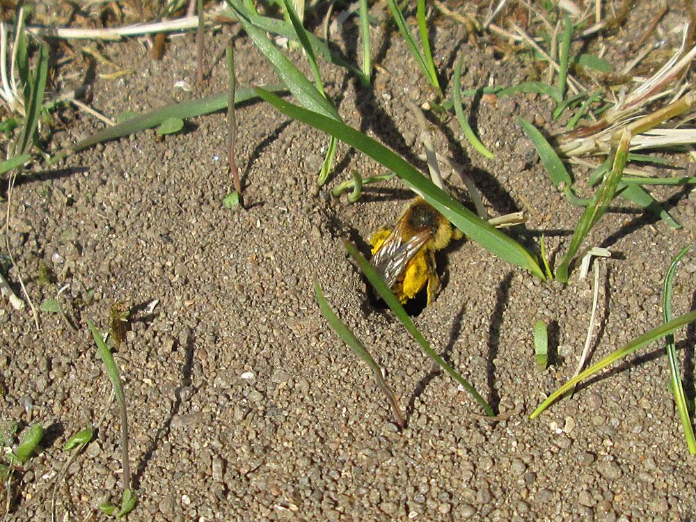 Abeille solitaire la maison de l 39 abeille for Abeilles mortes dans la maison