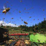 abeilles-nouvellezelande33-1