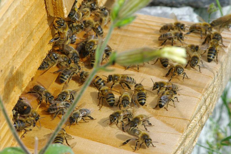 Adh rez l 39 association la maison de l 39 abeille for Abeilles dans la maison