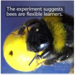 abeille scientific american