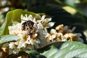frelon dévorant une abeille